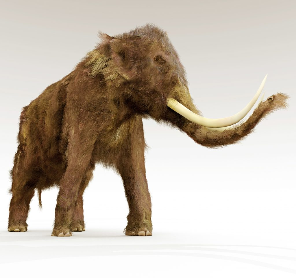 Woolly Mammoth On White Background